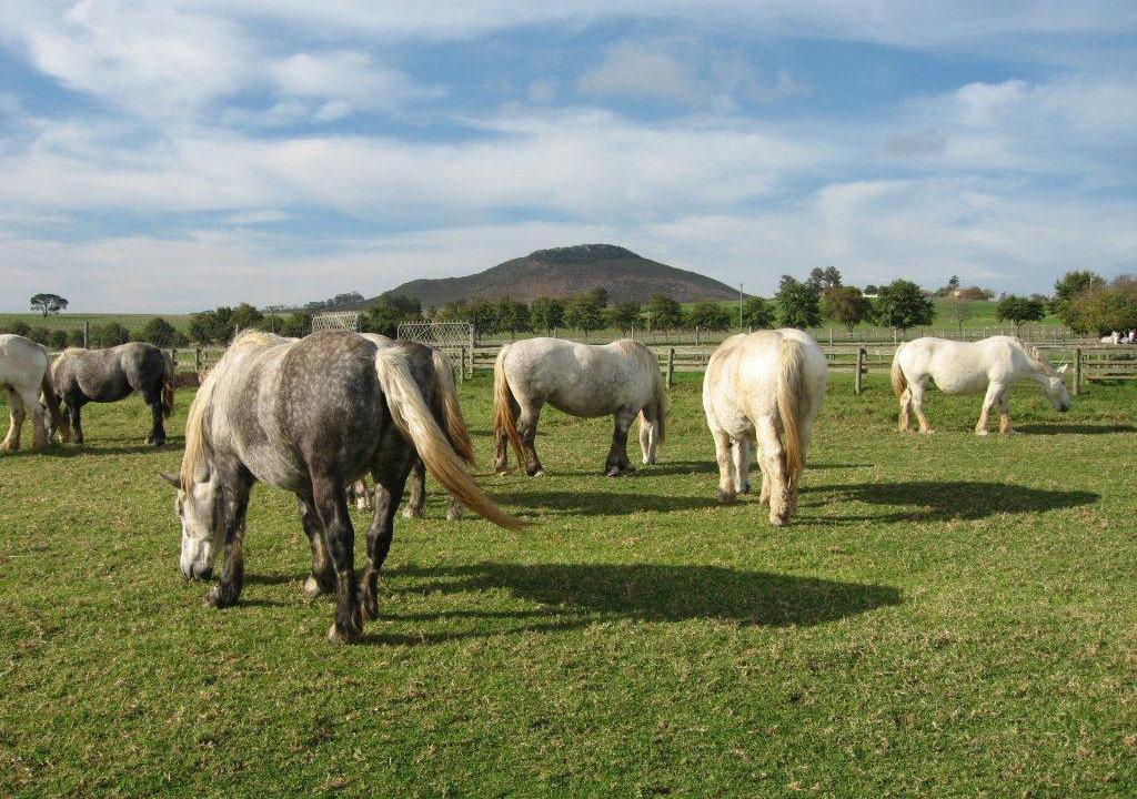 horsemeat Percheron