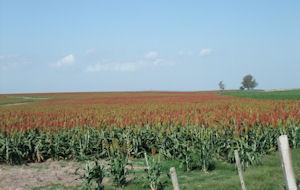 sorghum farmland uruguay